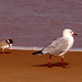 Hooded Plover and a gull