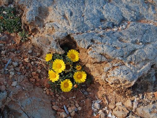 Flores sobre el roquedalCSC_0802