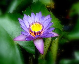 Lotus / Water Lilly (Not sure)