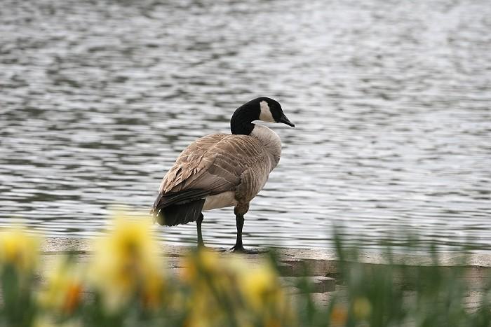 04-16-goose1