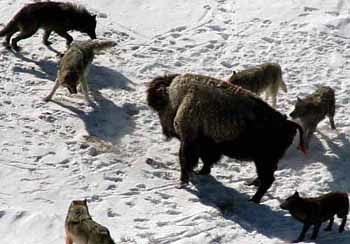 Bison surrounded by wolves