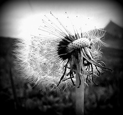 Spreading the Code of Life (mightyquinninwky) Tags: blackandwhite bw flower thanks fauna river geotagged spring afternoon framed seed award indiana dandelion southernindiana onwhite invite banks ohioriver puffball invited riverbanks onblack watertreatmentplant postprocessing goingtoseed ohiorivervalley waterworksroad bigfave abigfave evansvilleindiana banksoftheohio evansvilleriverfront kentuckyindianastateline carriedbywind vanderburghcountyindiana continuingthespecies geo:lat=37960191 geo:lon=87572893 bestofformyspacestation