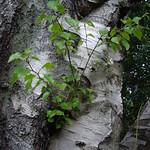 Silver birch thumbnail