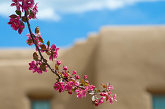 Adobe Blossoms (Denise ~*~) Tags: newmexico santafe nm denise womack avila top20nm denisewomackavila