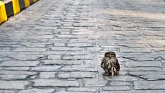- Korean brown hawk-owl (toughkidcst) Tags: bird diary wide panasonic korean seoul 169 lumx dmclx3 brownharkowl
