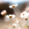 On Wednesdaisy, he hoped no one would notice this was the third shot in a row of a daisy from below and to the side (harold.lloyd) Tags: daisy daisyweek daisery daisies hbw bw bokeh 50mmf14 asever light yellow flower hazy blue originalthatsme gettyimages