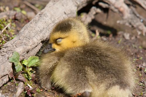 フリー画像| 動物写真| 鳥類| ガチョウ| 雛/ヒナ| 寝顔/寝相/寝姿|      フリー素材|