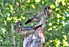 Wood Ducks (Aix sponsa) (Paul Hueber) Tags: tree male bird nature birds canon duck florida wildlife aves ave handheld perched waterfowl avian seminolecounty woodduck centralflorida perching aixsponsa wodu musicarver