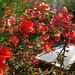 Photo: Chaenomeles japonica