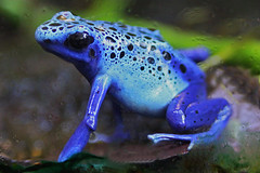 Poison Dart Frog (Ian Lambert) Tags: blue tree southamerica nature wildlife frog frogs tropical azureus poison poisondartfrog potofgold theunforgettablepictures