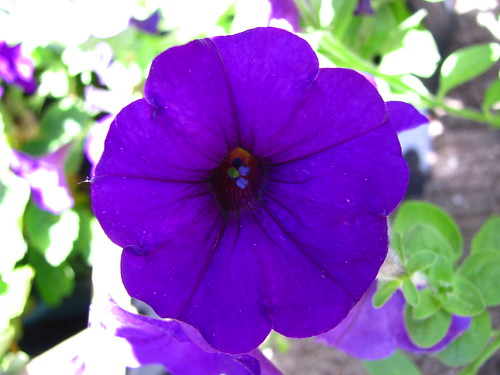 Purple Petunia in NYC – Living the Scientific Life ...