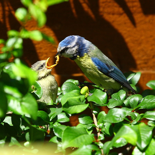 Blue Tit feeding fledgling