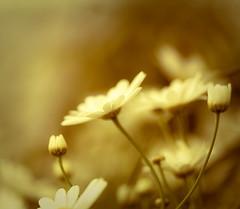 harold.esque (raceytay {I brke for bokeh}) Tags: pink white flower macro canon wednesday purple bokeh www aristotle greatmacro hbw 100mmf28usm vsfd vintagepreset happybokehwednesday 5dmarkii hwwbw youreverykind daisery hwwbwwwhbb yesjustmadethatlastoneup ithanktheefromthebottomofmyheart alsotheheartofmybottom