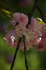 cherry blossom (M.Maxinee) Tags: pink flowers flower green nature beautiful garden pentax polska natura cherryblossom zielony kwiaty wrocaw kwiat kwiatki wrocawski rowy rowe wwwwroclawpl kwiatwini parkbotaniczny