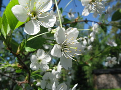 Cherry flowers (Leo-set) Tags: summer flower finland cherry europe   lempl   kulju lempaala