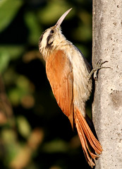 Arapau-do-cerrado, Narrow-billed Woodcreeper (Lepidocolaptes angustirostris) (claudio.marcio2) Tags: fab bird nature wildlife natureza pssaro aves birdwatching shiningstar oiseaux birdwatcher wonderfulnature awesomeshot supershot goldenmix mywinners abigfave godnature shieldofexcellence anawesomeshot impressedbeauty aclassgroup nationalgeographicareyougoodenough birdsarebeautiful theunforgettablepictures eperkeaward concordians theworldsbestnaturewildlifeandmacrophotography betterthangood frenature spiritofphotography feathersbeaksbirds allthosebirds worldnaturewildlifecloseup planetaterraeseusanimaisincrveis photographersgonewild thewonderfulworldofbirds naturegreenstar naturescreations ~newenvyofflickr~