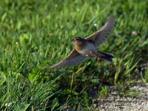 Grasshopper Sparrow In Flight 20090605