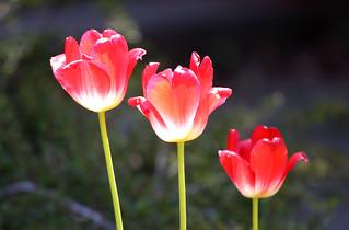 Tulips Enjoying the Sunshine