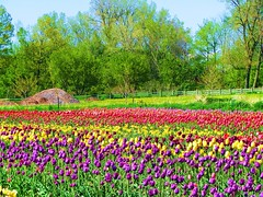 Color of Spring (Cher12861 (Cheryl Kelly on ipernity)) Tags: flowers red color green nature field yellow canon fence landscape spring purple tulips explore rows blooms hollandmichigan windmillisland southwestmichigan top20colorpix swmi cher12861 springtrip2009