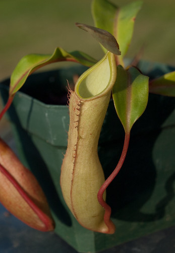 Nepenthes Alata var. Elongata: Pitcher
