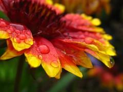 (Alejandro Imperial) Tags: red flower nature colors beautiful rain wheel yellow canon fire drops god bokeh indian powershot drip blanket thankful waterdrops gaillardia sd1000 ~~api~~