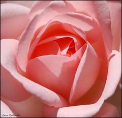 (L *) Tags: pink macro rose nikon rosa fiore petali d60 1855vr bealivebetopbeseven