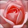 (Lù *) Tags: pink macro rose nikon rosa fiore petali d60 1855vr bealivebetopbeseven
