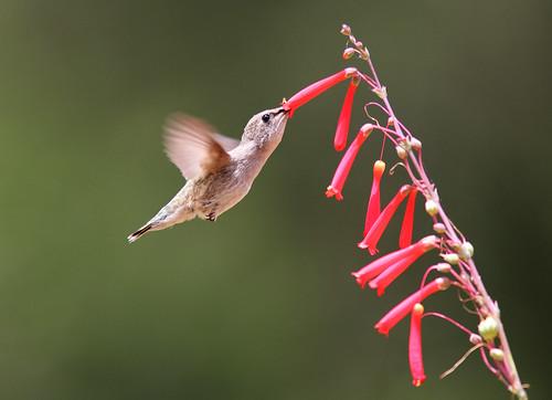 [Free Photo] Animals, Bird, Trochilidae, Hummingbird, 201005251900