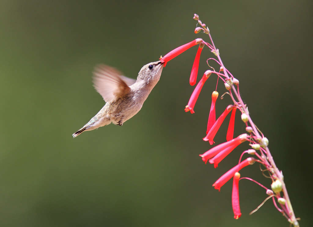 ハチドリの画像 p1_27