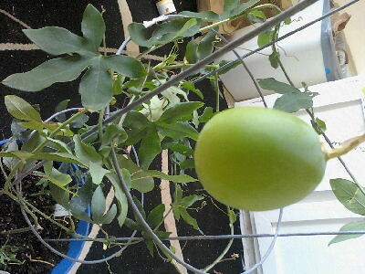 some of my passiflora 5797720368_87cedef85e