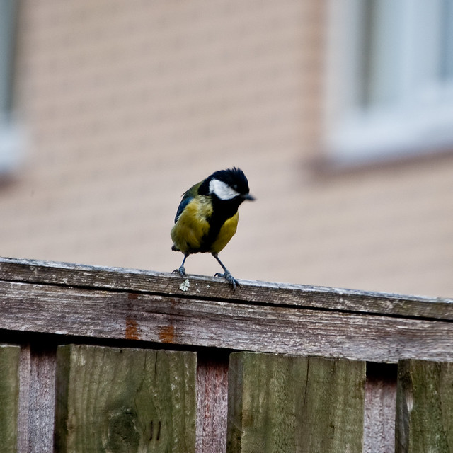 100611_ a great tit #1