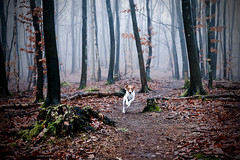 Runnin from the Unknown (Voetmann) Tags: dog mist fog forest canon woods 5d tge dogrunning bastian 2470l28 dansksvenskgrdhund voetmann slagslundeskov buresskovene fugtigtvejr