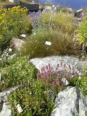 Roccea Penisola Iberica (GiardinoSaussurea) Tags: flowers flower garden flora courmayeur paesaggio botanica aosta giardino montebianco valledaosta saussurea piantealpine giardinosaussurea