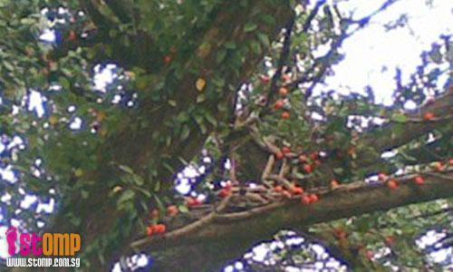 Ficus fruits grow on raintrees?