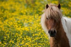 Summer feeling ((Erik)) Tags: summer horse cute yellow bokeh postcard desire pony zomer lief paard buttercups mred boterbloemen summerfeeling pentaxk100d mylitllepony