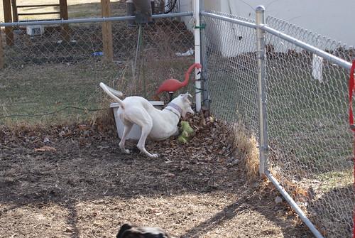 Three legged Calamity greyhound plays
