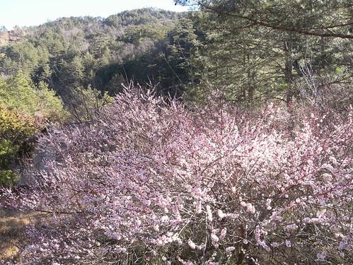 你拍攝的 22梅花景。