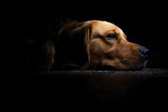 Blackout (Chinese (pR)) Tags: light dog argentina goldenretriever dark golden nikon 123 retriever spotlight perro explore corrientes blackout floyd topf100 soe iphone d60 apagon mywinners anawesomeshot