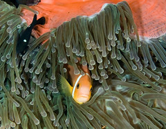 anemfish3272pcw (gerb) Tags: ocean fish beautiful topv111 510fav wow ilovenature cool topv333 underwater scuba anemone d200 domino maldives animalplanet anemonefish tvp 70180mmf4556dmicro