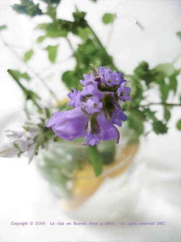 Oregano & lavender in vase