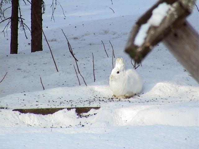 snowshoe4209.jpg