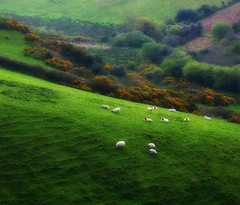 Pastorale (Sandra Leidholdt) Tags: ireland irish nature landscape sheep natur meadow irland eire kerry explore pasture pastoral paysage landschaft emeraldisle grazing irlanda irlande blackface gorse dinglepeninsula countykerry pastorale blackfaced republicofireland explored sandraleidholdt lirlande leidholdt sandyleidholdt