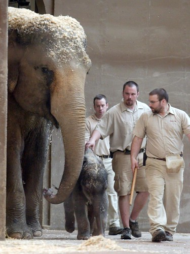 An Asian elephant named Phoebe, her son and handlers enter the indoor area in the Columbus Zoo pachyderm building for his debut on April 3, 2009.