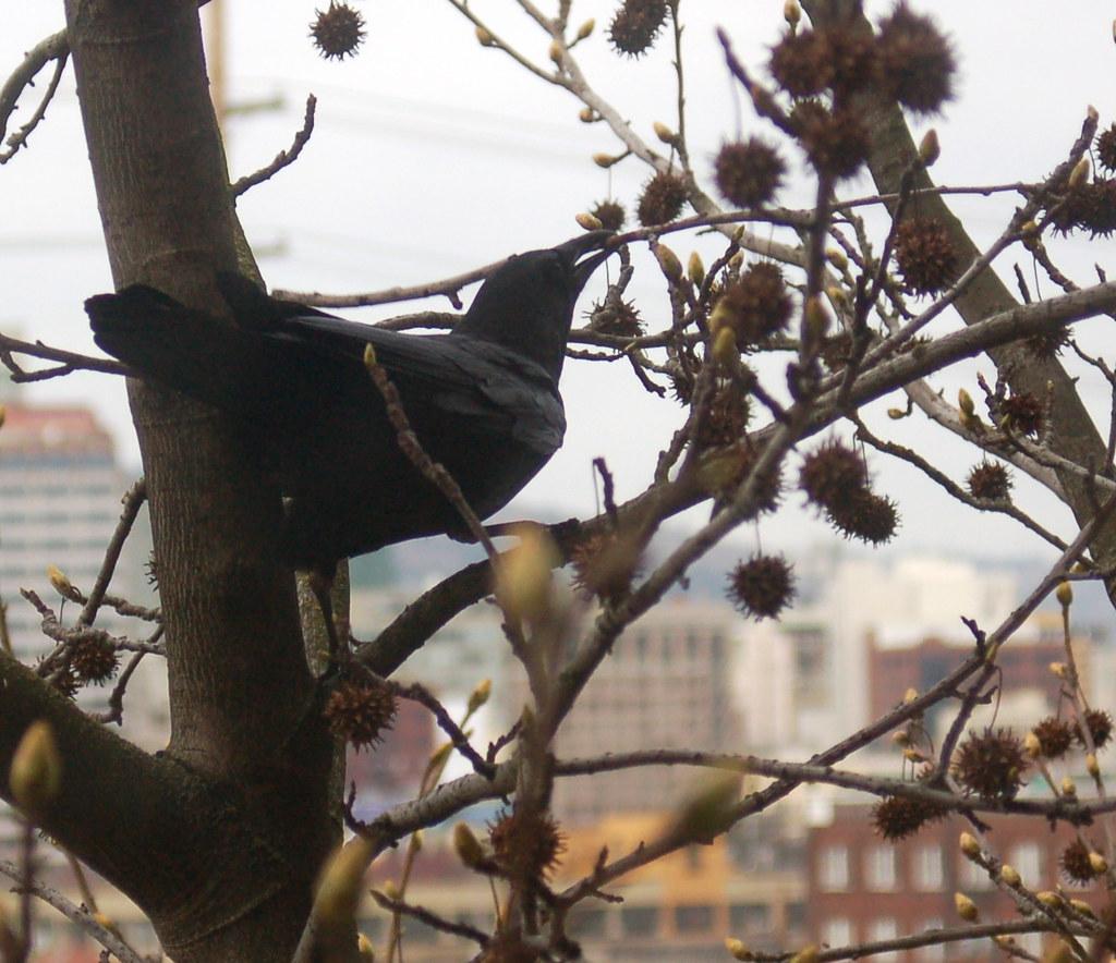 DSC_62_crow_twig
