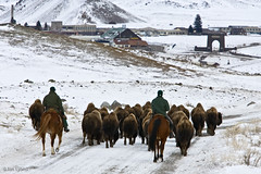 Yellowstone - Bison Roundup, North Entrance (IanLyons) Tags: horses usa montana yellowstonenationalpark northamerica gardiner bison domesticanimals mammals rooseveltarch northentrance