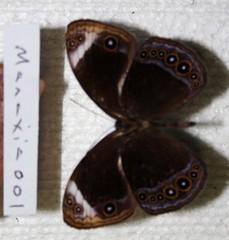Mycalesis anaxias