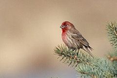 PURPLE FINCH/ROSELIN POURPRÉ