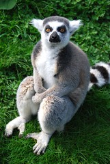 365 day196 lemur (by Ruth Flickr)