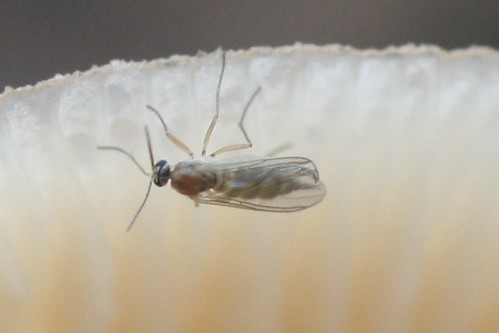 Fungus gnat (Sciaridae)
