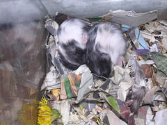 DSCN2672 (haecklers) Tags: cute babies spot calico hamster syrian